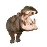 Nijlpaard - amphibius van het Nijlpaard (30 jaar) Stock Afbeelding