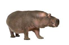 Nijlpaard - amphibius van het Nijlpaard (30 jaar) Stock Foto's