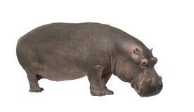 Nijlpaard - amphibius van het Nijlpaard (30 jaar) Stock Foto