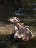 Nijlpaard (amphibius van het Nijlpaard) Stock Foto