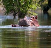 Nijlpaard bij meer Royalty-vrije Stock Foto