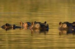 Nijlpaard bij schemer Stock Foto's