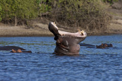 Nijlpaard - Botswana stock foto