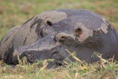 Nijlpaard dat in moeras dut Stock Fotografie