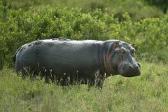 Nijlpaard in de serengetireserve Stock Foto