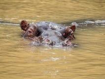 Nijlpaard die in een estuarium in Zuid-Afrika zwemmen royalty-vrije stock foto
