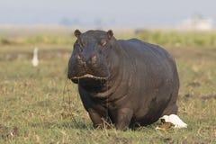 Nijlpaard die gras eten uit de rivier Royalty-vrije Stock Fotografie