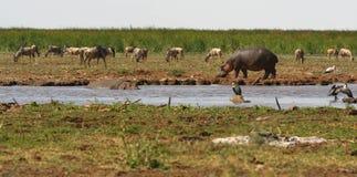 Nijlpaard die langs de rivierbank wandelen Royalty-vrije Stock Foto