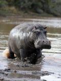 Nijlpaard die in Zuid-Afrika laden stock afbeelding