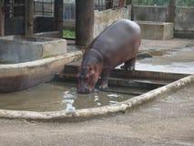 Nijlpaard drinkwater in gevangenschap royalty-vrije stock foto