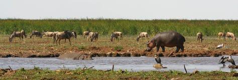 Nijlpaard in en uit de rivier Stock Foto