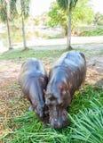 Nijlpaard in gevangenschap Stock Foto's