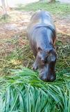 Nijlpaard in gevangenschap Royalty-vrije Stock Fotografie