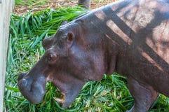 Nijlpaard in gevangenschap Stock Fotografie