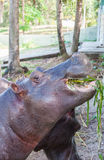 Nijlpaard in gevangenschap Royalty-vrije Stock Afbeeldingen