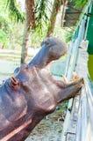 Nijlpaard in gevangenschap Stock Afbeelding
