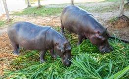 Nijlpaard in gevangenschap Royalty-vrije Stock Afbeelding