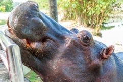 Nijlpaard in gevangenschap Stock Afbeeldingen
