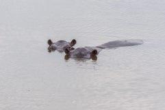 Nijlpaard in gevangenschap Royalty-vrije Stock Foto's