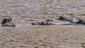 Nijlpaard in het meer stock afbeelding