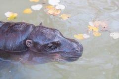 Nijlpaard in het water stock afbeeldingen