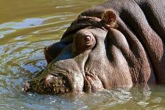 Nijlpaard in het water Stock Afbeelding