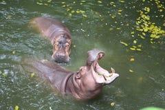 Nijlpaard in het water stock fotografie