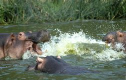 Nijlpaard, hipopótamo, amphibius del hipopótamo foto de archivo libre de regalías