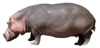 Nijlpaard, Hippo, het Wild dat op Wit wordt geïsoleerdH Royalty-vrije Stock Afbeeldingen