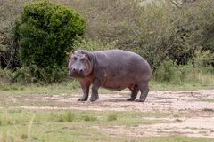 Nijlpaard in Masai Mara, Kenia, Afrika stock afbeelding