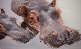 Nijlpaard, moeder met baby Stock Fotografie