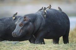 Nijlpaard (Nijlpaard Amphibius) met vogels op rug Royalty-vrije Stock Afbeeldingen