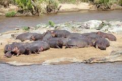 Nijlpaard (Nijlpaardamphibius) Stock Foto