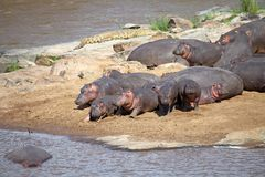 Nijlpaard (Nijlpaardamphibius) Stock Foto's