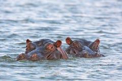 Nijlpaard, nijlpaardamphibius Stock Afbeelding