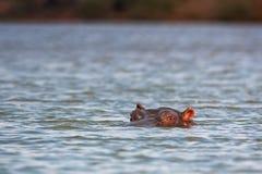Nijlpaard, nijlpaardamphibius Stock Foto's