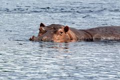Nijlpaard op Nile River in Afrika Royalty-vrije Stock Afbeelding