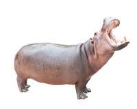 Nijlpaard op wit met het knippen van weg Royalty-vrije Stock Foto