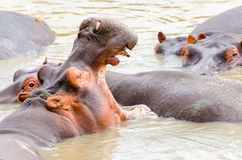 Nijlpaard, Serengeti Stock Afbeeldingen