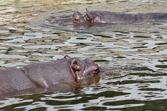 Nijlpaard twee die in water zwemmen Royalty-vrije Stock Foto