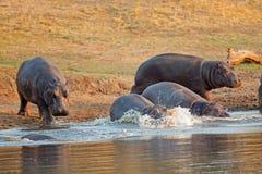 Nijlpaard in water Stock Afbeeldingen