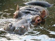 Nijlpaard in water Stock Foto's