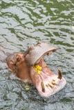 Nijlpaard wijd open in het water stock fotografie