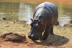 Nijlpaard in Wildreservaat Mlilwane. Royalty-vrije Stock Afbeeldingen