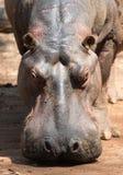 Nijlpaard in Wildreservaat Mlilwane. Stock Afbeeldingen
