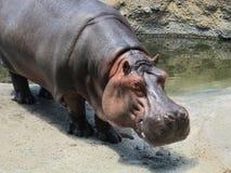 Nijlpaardglimlach Royalty-vrije Stock Foto's