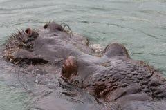 Nijlpaardhoofd royalty-vrije stock foto