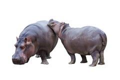 Nijlpaardpaar Stock Afbeelding
