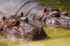 Nijlpaardpaar die in het water in dierentuin rusten royalty-vrije stock afbeelding