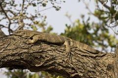 Nijlvaraan, Nil monitor, Varanus niloticus obraz royalty free